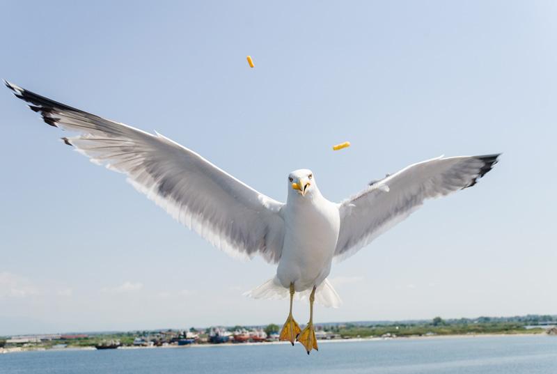 γλάρος-πετάει