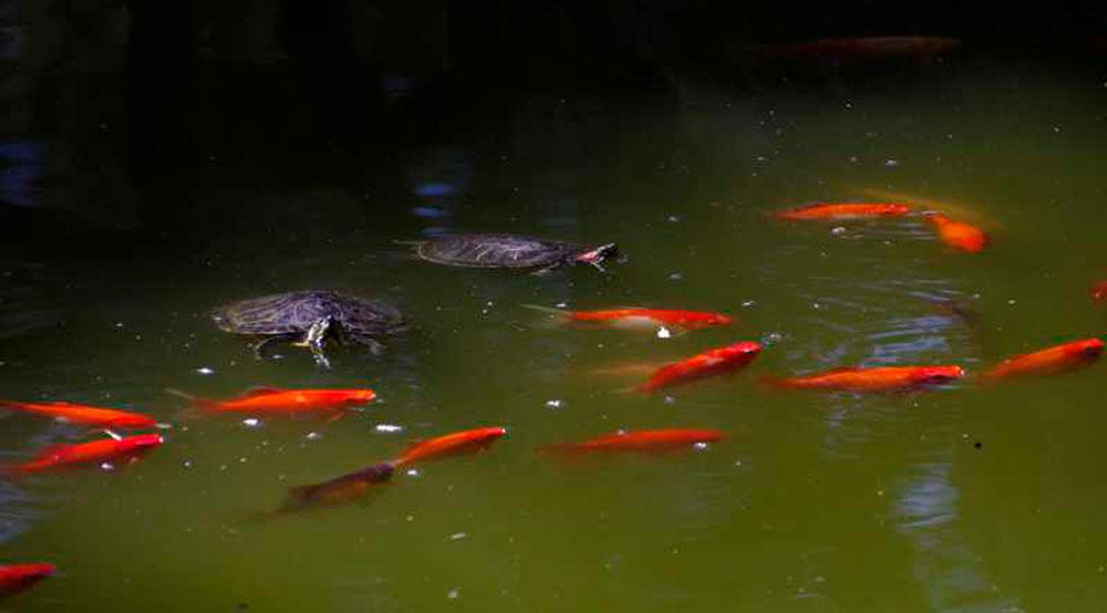 λίμνη-χελώνες-ψαράκια